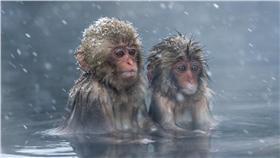 下雪.泡湯.寒流.猴子.寒冷.發抖(圖/達志影像)