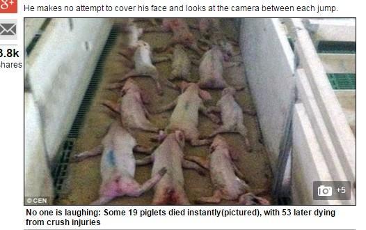 虐豬/翻攝自Daily Mail