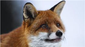 翻攝自電影狐狸與我劇照