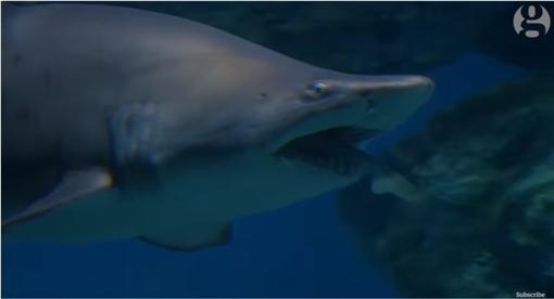 鯊魚,水族館▲圖/翻攝自YouTube