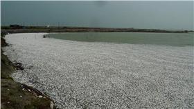 嘉義布袋鹽田魚群凍死-公視我們的島提供