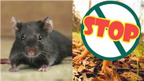 老鼠,松鼠▲合成圖/達志影像