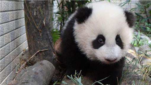 熊貓、動物園 (圖/翻攝自動物園粉絲專頁)
