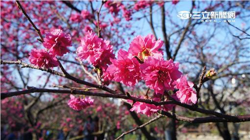 櫻花 (圖/記者黃裕晴攝影)