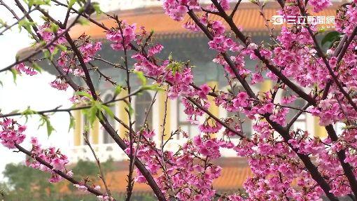 下雨也要來賞花 天元宮三色櫻絕美登場