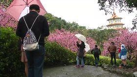收假賞櫻花1800