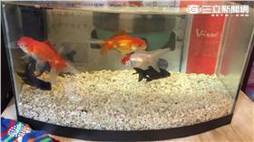 金魚、魚缸、撈魚
