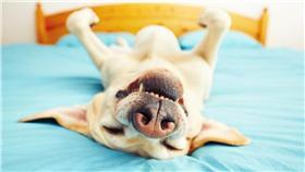 狗狗,做夢,睡覺,寵物,汪星人,毛小孩,愛犬▲圖/達志影像