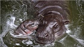 侏儒河馬寶寶會潛水,小侏與侏長 翻攝自台北市動物園官網 http://www.zoo.gov.taipei/ct.asp?xItem=160336910&ctNode=22735&mp=104031