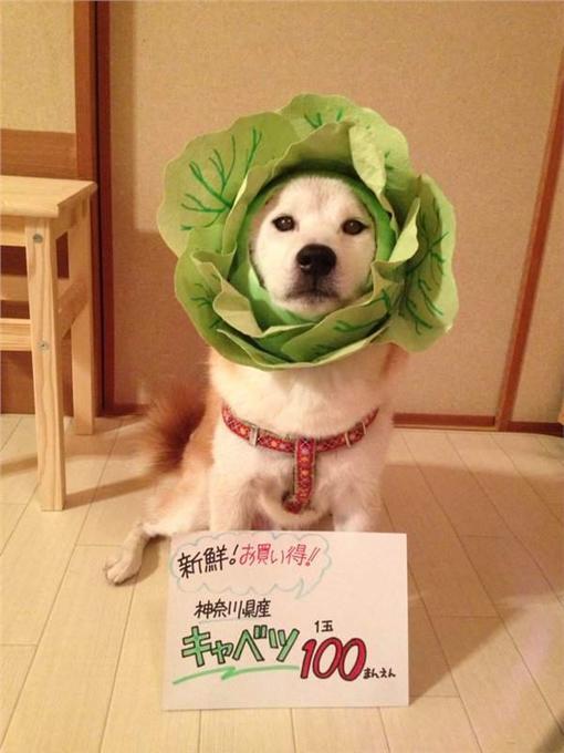 柴犬,可愛,寵物,萌,Cosplay,打扮,造型,主人(推特:https://twitter.com/C_S0325)