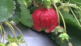 750元草莓1200