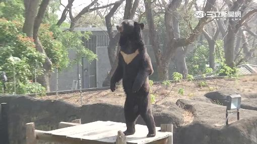 黑熊站立遭疑工讀生扮的 花媽闢謠
