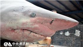 鯊魚/中央社記者盧太城台東攝