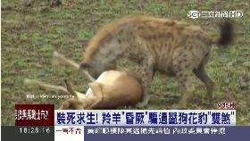 羚羊會裝死1800