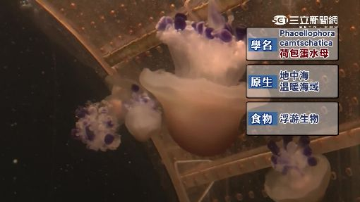 屏東海生館荷包蛋水母 吸睛嬌客