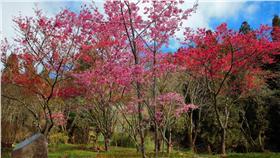 ▲今年「阿里山花季」為3月10日至4月10日;阿里山國家森林遊樂區內諸多花卉也已陸續綻放。(圖/林務局嘉義林管處)