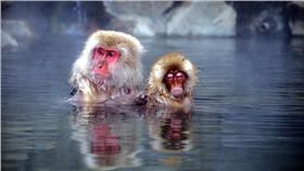 泡湯,溫泉,猴子,冷,低溫(首圖)▲圖/攝影者Chi Tranter, flickr CC License-https://www.flickr.com/photos/chitranter/14212780326/