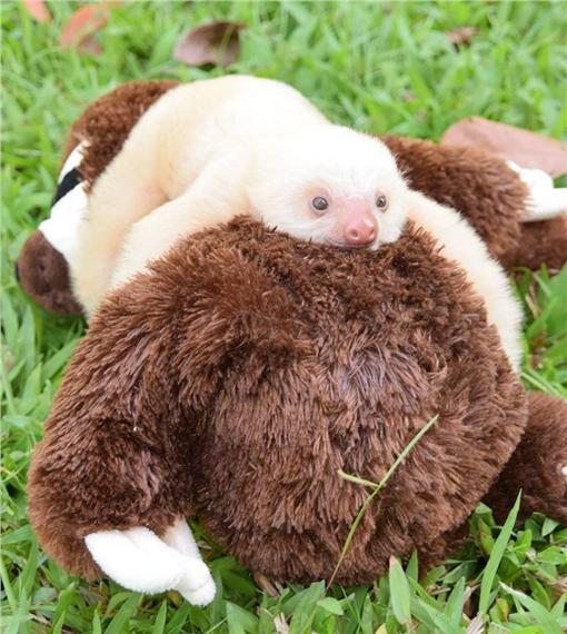樹懶,圖/翻攝自Sloth Sanctuary Costa Rica臉書https://www.facebook.com/SlothSanctuaryCostaRica/photos/a.415380581865688.92043.400127830057630/997901856946888/?type=3&theater