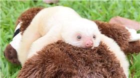 樹懶,圖/翻攝自Sloth Sanctuary Costa Rica臉書 https://www.facebook.com/SlothSanctuaryCostaRica/photos/a.415380581865688.92043.400127830057630/997901856946888/?type=3&theater