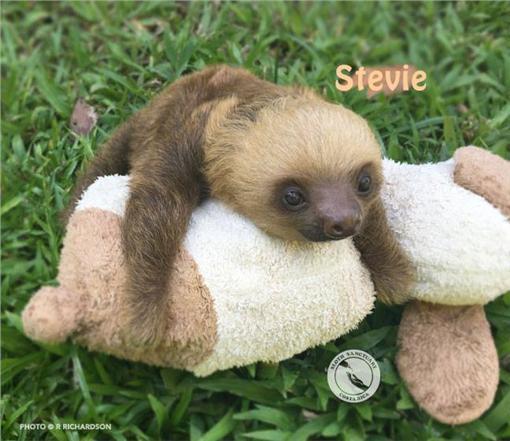 樹懶,圖/翻攝自Sloth Sanctuary Costa Rica臉書https://www.facebook.com/SlothSanctuaryCostaRica/photos/a.415380581865688.92043.400127830057630/1006062046130869/?type=3&theater