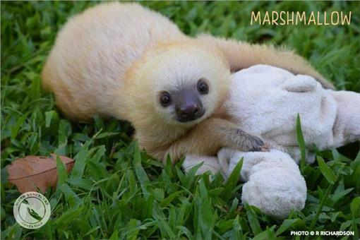 樹懶,圖/翻攝自Sloth Sanctuary Costa Rica臉書https://www.facebook.com/SlothSanctuaryCostaRica/photos/pcb.999782063425534/999781426758931/?type=3&theater