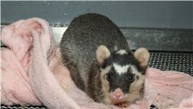 鼬獾 台北市立動物園
