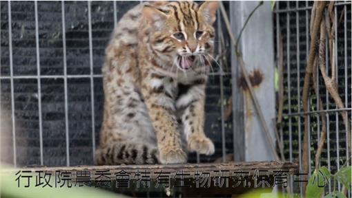 石虎,保育類,絕種,長大▲圖/翻攝自《貓徑地圖王小明》臉書