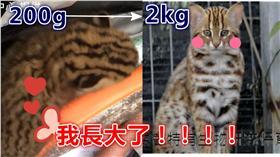石虎,保育類,絕種,長大▲圖/翻攝自YouTube、《貓徑地圖王小明》臉書