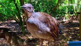 大肚山怪鳥1800