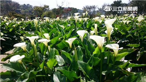 ▲今年竹子湖海芋季已於3月18日正式開鑼。(圖/台北市產業局)