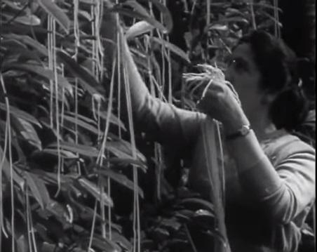 1957年英國BBC地愚人節惡作劇「義大利麵樹」翻攝自YouTubehttps://www.youtube.com/watch?v=tVo_wkxH9dU