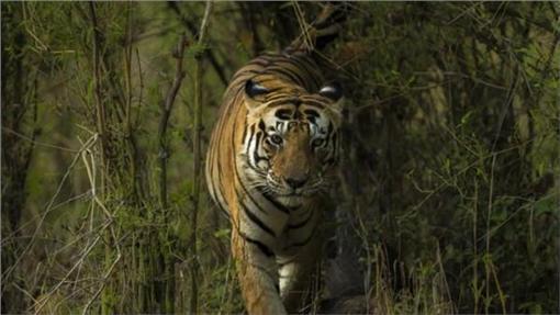 老虎MUNNA/翻攝自Kanha National Park
