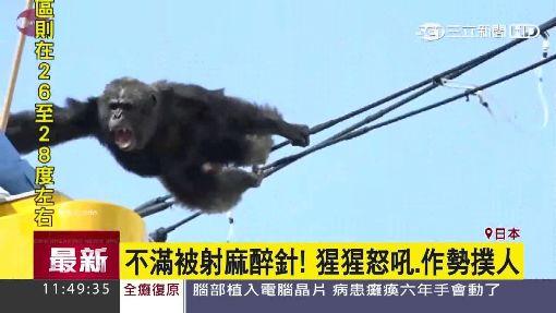 猩猩逃走中! 日仙台街頭騷動兩小時