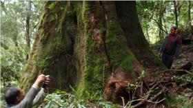檜木,神木-林務局提供 http://www.forest.gov.tw/ct.asp?xItem=78380&ctNode=1787&mp=1