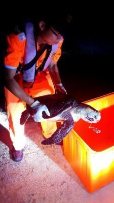 誤食魚餌?小琉球綠蠵龜口含魚線死亡