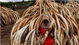 肯亞大規模焚燒象牙創紀錄 (圖/路透社/達志影像)