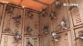 風雨偷鴿王1800