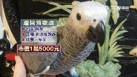 侵占灰鸚鵡1800