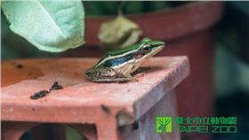 ▲台北赤蛙的消失 跟人類生存百分之百息息相關?(圖/台北市立動物園)