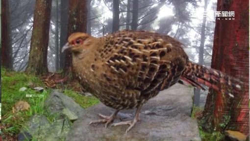 違法餵食誘拍 大雪山帝雉養的比雞肥