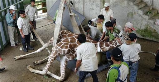 台北市立動物園長頸鹿「長宵」_動物園提供