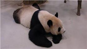 團團、熊貓(圖/動物園臉書)