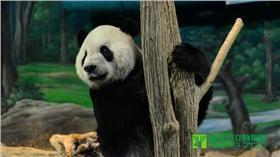 團團、熊貓、貓熊(圖/台北市動物園臉書)