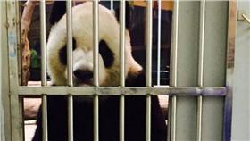 團團、熊貓、貓熊(圖/動物園提供)