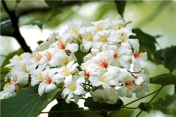 油桐花(圖/翻攝自維基百科)