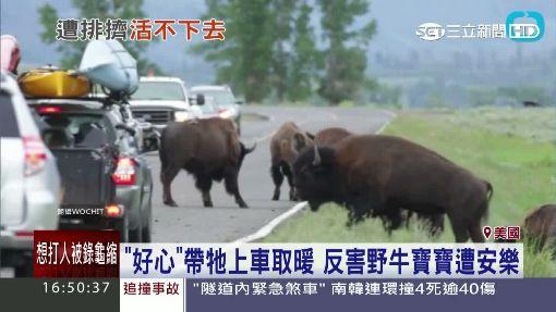 """""""好心""""帶上車取暖 反害小野牛遭安樂死"""