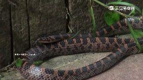 紗帽山毒蛇1800
