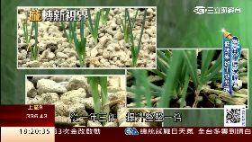 C石頭種青蔥1800