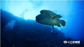▲曲紋唇魚、龍王鯛(圖/臺灣珊瑚礁學會攝、林務局提供)