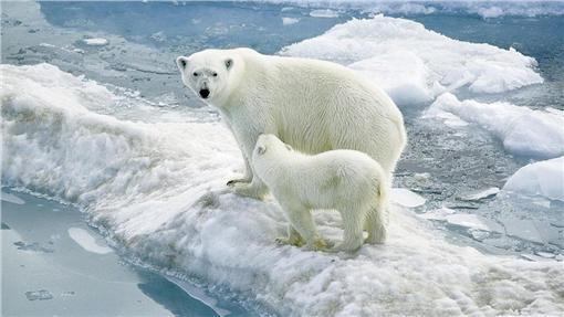 北極熊 ▲圖/攝影者sheilapic76, flickr CC License (https://www.flickr.com/photos/53344659@N05/4979037990)